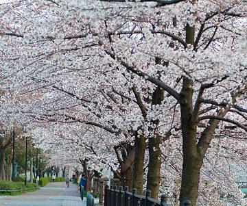 桜が楽しみです🌸